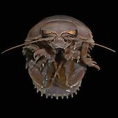 Deep-sea Giant Isopod (Bathynomus giganteus)