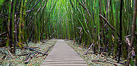 A pathway leads through a huge bamboo forest in Honolulu, O'ahu.