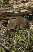 Zwergspitzmaus, Zwerg-Spitzmaus, Spitzmaus, Maus, Sorex minutus, Eurasian pygmy shrew