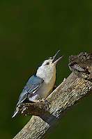 561250010 a wild white-breated nuthatch sitta carolinensis tenussuma perches on a branch in madera canyon green valley arizona united states