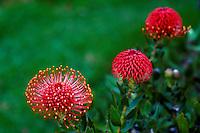 Red pin cushion protea from Kula, Island of Maui