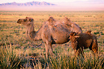 Bactrian camel and calf, Great Gobi Protected Area, Mongolia