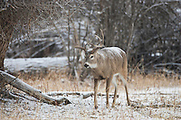 Whitetail buck in snow during the autumn rut in Wyoming