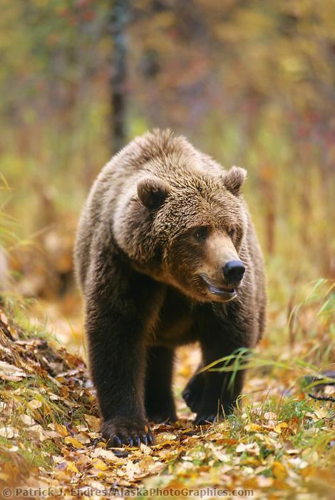 Coastal brown bear a path in the balsam poplar forest of Katmai National Park, Alaska, autumn.