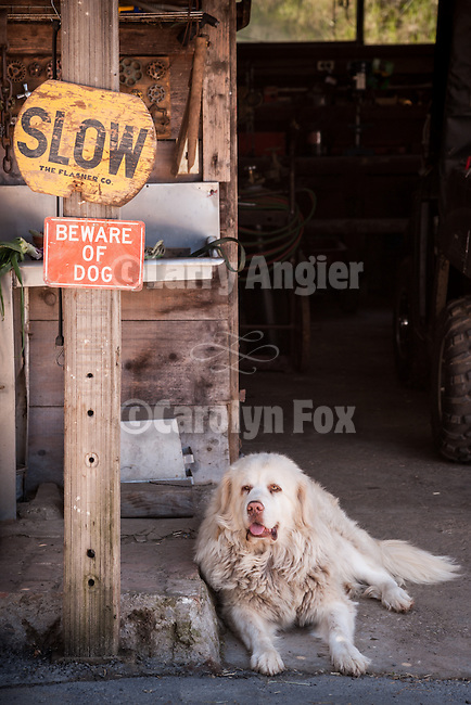 SLOW-Beware of Dog signs with white Great Pyrenees herd dog, Cuneo ranch, Clinton, Calif.