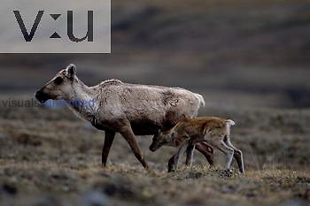 A Caribou cow and calf.