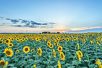 This is just another example of the endless sunflower fields in north Texas.  After many trips here we got a few pictures at different times of day to capture these stunning fields as the famers now use them for rotation crops.