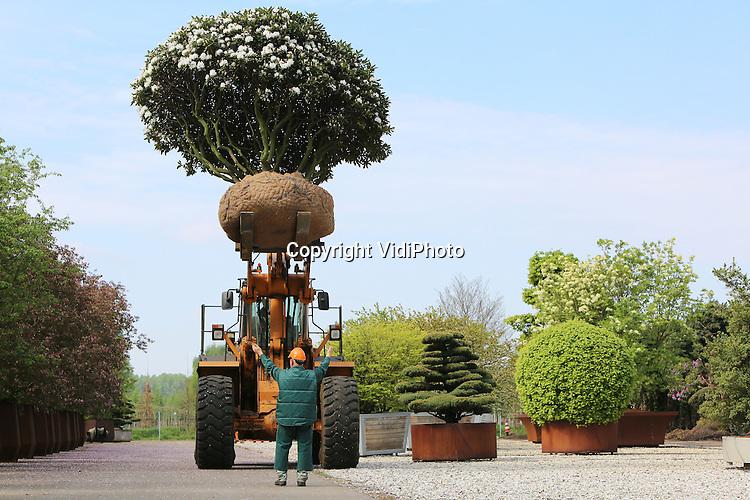 Foto: VidiPhoto<br /> <br /> SINT-OEDENRODE &ndash; Medewerkers van Van den Berk Boomkwekerijen uit Sint-Oedenrode in Noord-Brabant transporteren woensdag een enorme boomrhododendron voor de Florali&euml;n Nederland. Het gevaarte met de naam Rhododendron &lsquo;Cunningham&rsquo;s White&rsquo; is 45 jaar oud en weegt zo'n 2.000 kilo. De bijzondere boomrhododendron is een van de trekkers op de Florali&euml;n in Den Bosch, de grootste expo van bloemen en planten ter wereld, die van 9 tot 18 mei in de Brabanthallen en voor het eerst in Nederland wordt gehouden. Ruim 250 kwekers en veredelaars uit binnen- en buitenland tonen daar hun mooiste bloemen, planten, bomen en heesters.