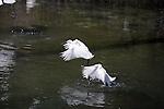 Snowy Egrets