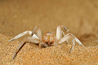 White Lady Spider (Leucorchestris arenicola) in defensive threat display, Namib Desert sand dune, Namibia.