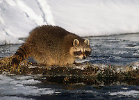 The Common Raccoon (Procyon lotor) hunts at night, Colorado, USA.
