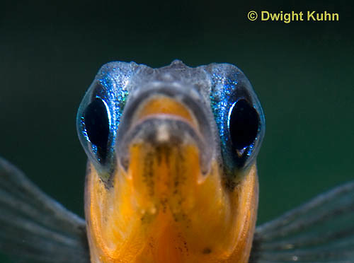1S14-544z  Male Threespine Stickleback, Mating colors showing bright red belly and blue eyes, close-up of face, Gasterosteus aculeatus,  Hotel Lake British Columbia