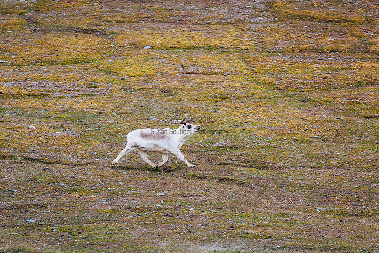 Exploring Diskobutka on the island of Edgeoya in the Svalbard archipelago which supports a variety of wildlife including reindeer, arctic fox and a kittiwake colony.  Here, reindeer graze on the low tundra.