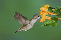 Costa's Hummingbird, Calypte costae, young male in flight feeding on  Yellow Trumpet Flower(Tecoma stans),Tucson, Arizona, USA