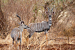 Africa, Kenya, Meru. Lesser Kudu pair of Meru National Park.