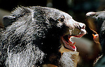 Asiatic Black Bears, Ursus thibetanus, two of the thousands that would have ended up in Asian bear bile milking farms and is being cared for in Luang Prabang Laos.