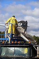 Cranberrry harvest, Harwich, Cape Cod, MA, Massachusetts,, USA