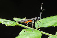 A female Braconid Wasp (Atanycolus sp) perches on a leaf against a black background.