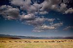 Wildebeest, Ngorongoro Conservation Area, Tanzania