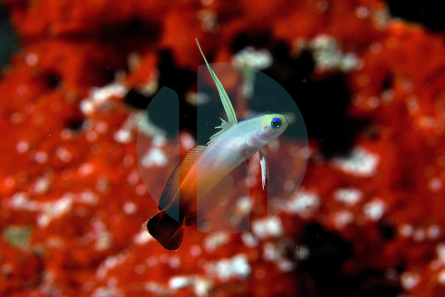 December 6th, 2008_MALDIVES_ A Fire Dartfish at a dive site known as Banana Reef in the Maldives.  The Maldives, which is the world's lowest nation in altitude is rich with marine life and great diving.  Photographer: Daniel J. Groshong/Tayo Photo Group
