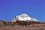 Man Plowing Field With Annapurna