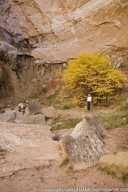 A hike examines the wall of a box canyon accented with the yellow foliage of a singleleaf ash fall trees at Ghost Ranch, near the village of Abiquiu in northern New Mexico