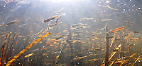 School of Ninespine Stickleback<br />