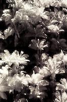 IR Palms, Hamakua Coast