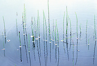 REFLECTION OF REEDS IN POND