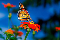 Monarch butterfly (danaus plexippus) on a Mexican sunflower (tihonia rotundifolia)