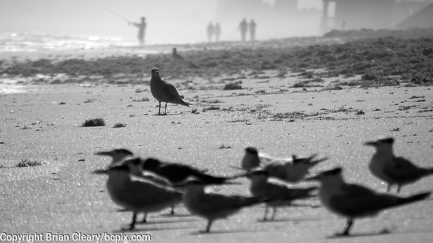A lone bird stands on the beach between a group of terns and a group of people in Ormond Beach, FL, November 2011. Black and white.    (Photo by Brian Cleary/www.bcpix.com)