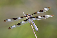 389320002 a wild male twelve-spotted skimmer libellula pulchella perches on a dead twig near jean blanc road canal near bishop in inyo county california