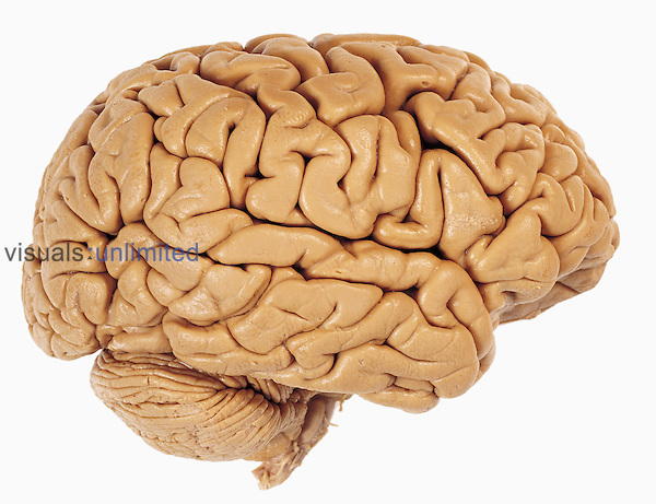 Lateral view of the human brain showing the cerebrum and cerebellum. The cerebrum is the largest part of the brain and it governs higher brain functions including thought. The cerebellum is involved with balance and control of the muscles. The brain contains more than 300 billion neurons and is composed mainly of gray matter which originates and processes nerve impulses and white matter which transmits the impulses.