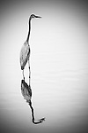 A great blue heron stand in the water. Its a reflection can be seen in the water.