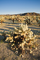 Teddy-Bear Cholla cactus - Cylindropuntia bigelovii, Joshua Tree national park, California