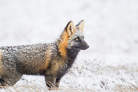 Cross fox hunts on the snowy tundra of the arctic north slope, Alaska.