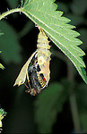 Peacock Butterfly, Inachis io, pupae or chrysalis, on stinging nettle, hatching sequence, emerging, .United Kingdom....