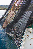 Commercial fishing with net full of Herring on the F/V Ace, during the Sitka sac roe herring fishery, Sitka Sound, southeast, Alaska