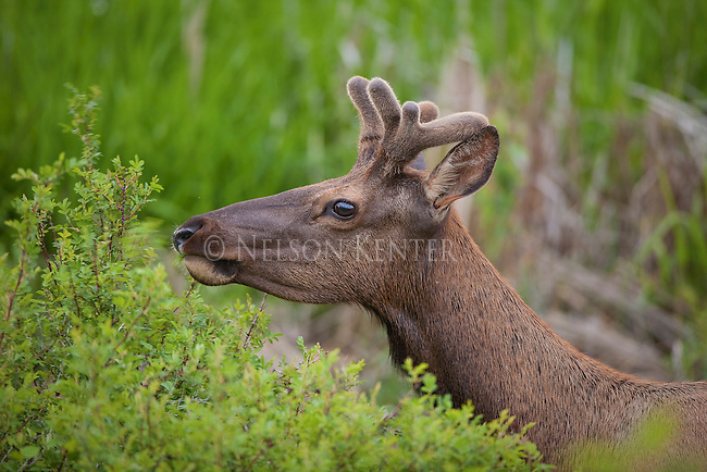 Bull elk with early summer antler growth in velvet, feeding on new leaves