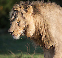 Young male lion in early morning light, Masai Mara, Kenya, Africa (by Wildlife Photographer Matt Considine)