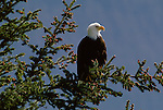 A bald eagle perches in a spruce tree in Alaska.