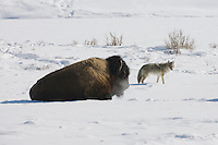 American Bison, Buffalo (Bison bison), adult in snow and Coyote (Canis latrans), Yellowstone National Park, Wyoming, USA