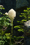 Bear Grass growing in the Idaho mountains