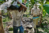 A Colombian worker carrying a bunch of crude bananas on the banana plantation in Aracataca, Colombia, 14 March 2006. Eighty percent of the exported bananas in the world are grown in Latin America. Local farms have no other alternative than to sell for a price offered by the multinational company. When working conditions and ecology is in question, the corporations do not have any responsibility as they do not own plantations. Local governments in the attempt of organizing banana export provide low duty taxes on export, they try to eliminate social and enviromental politics to attract the big companies to their countries.