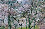 Cherry trees in bloom, Kyoto, Japan