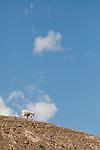 A mountain goat descends a ridgeline near Logan Pass in Glacier National Park, Montana.