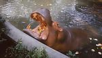hippopotamus at zoo in Bangkok