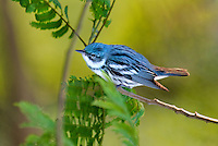 591730009 a wild male cerulean warbler songbird setophaga cerulea - was dendroica cerulea - perches in thick brush on south padre island cameron county texas