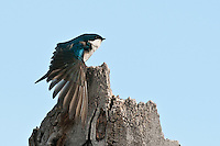 Tree Swallow stretching its wing