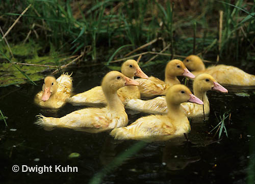 DG12-041x  Pekin Duck - seventeen day old ducklings swimming in a pond